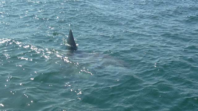 Beachgoers in Marshfield saw this fin on Aug. 27 and mistakenly took the ocean sunfish for a shark.